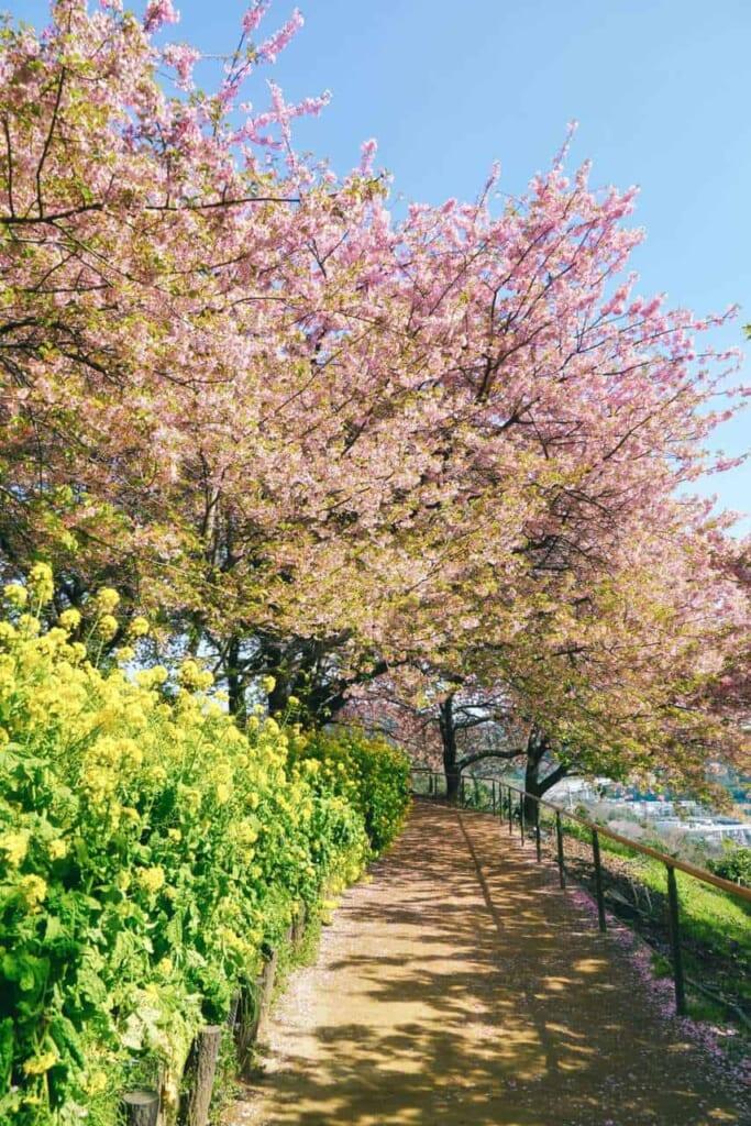 Kirschblüten und Rapsblüten im Nishihira Park.
