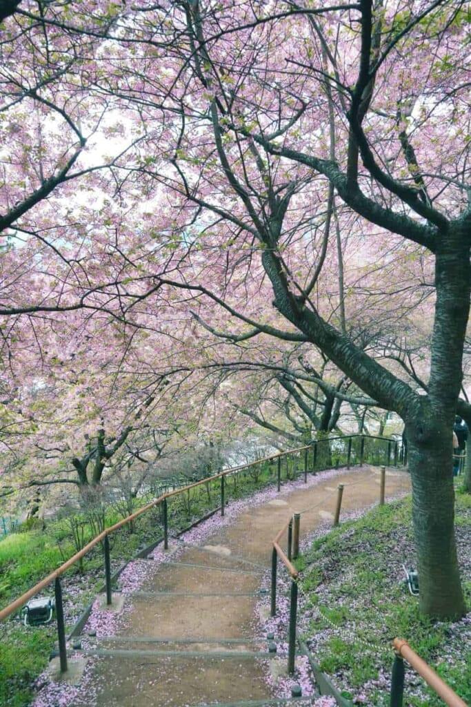 Treppen umgeben von Kirschblütenbäumen.
