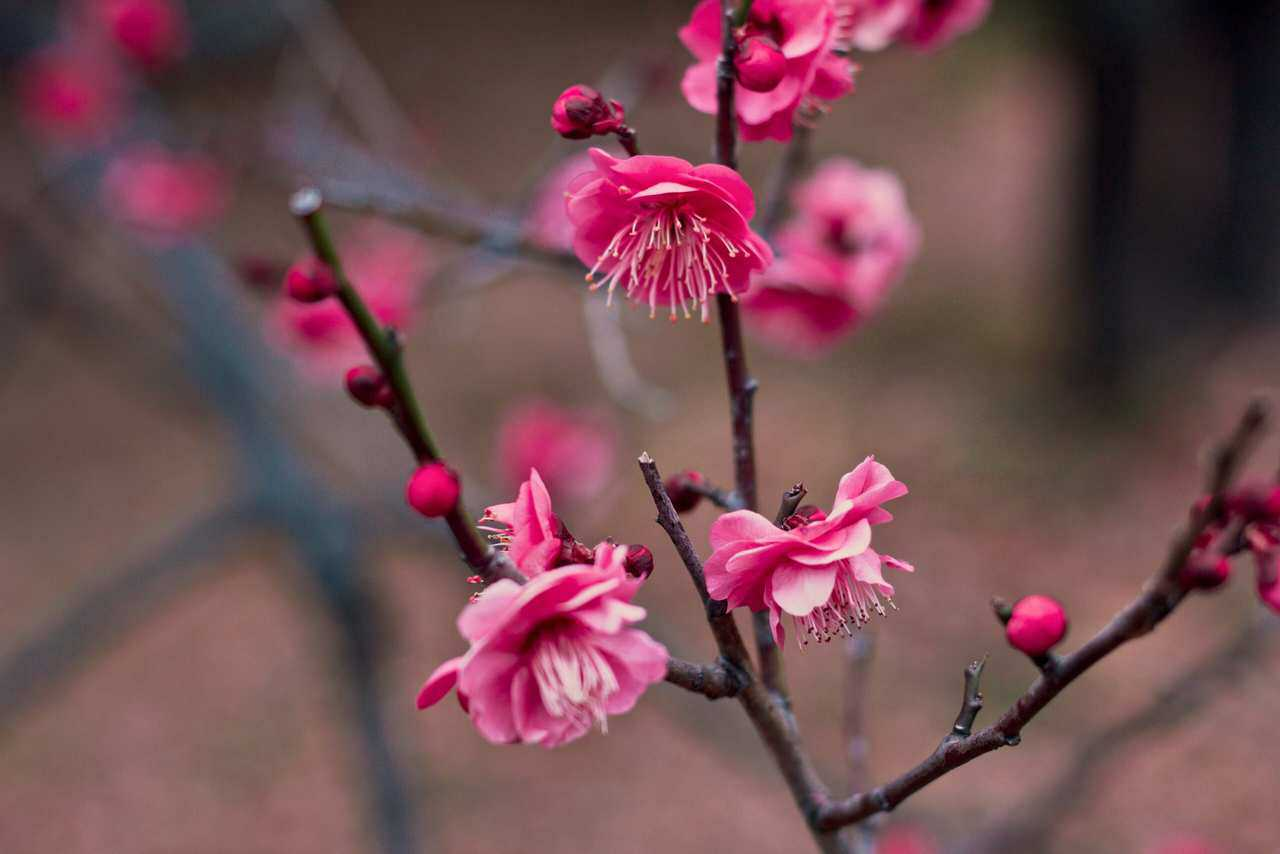Primavera Giapponese: le Differenze tra i Fiori di Ume, Momo e Sakura