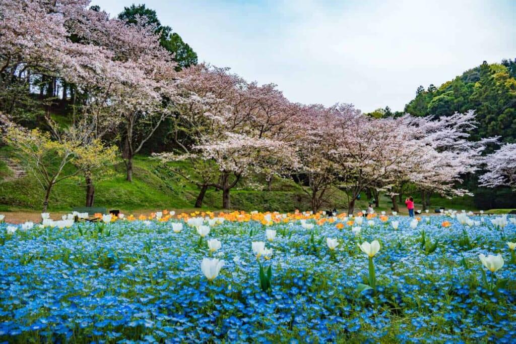 Aiuole e ciliegi in fiore allo Hamamatsu Flower Park