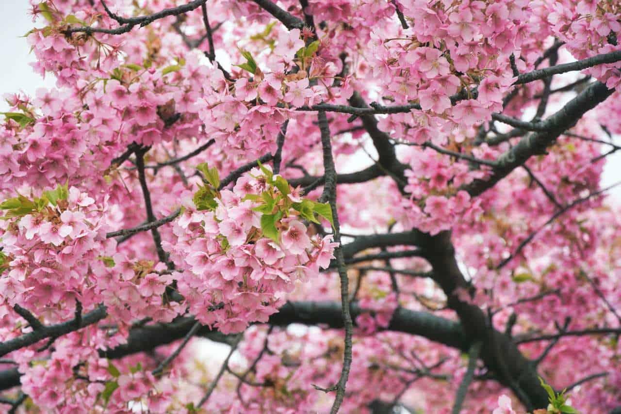 Ciliegi invernali in fiore al Festival di Matsuda