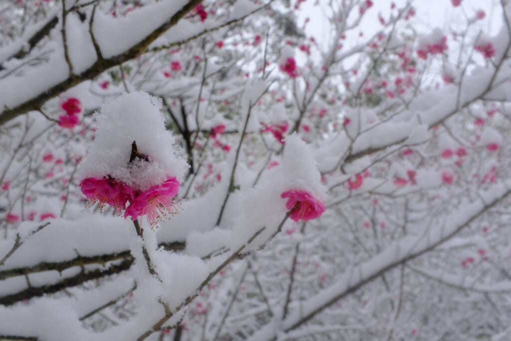 Fiori di ume sbocciati tra la neve